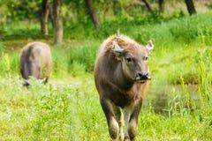 水牛在国家农场 库存图片