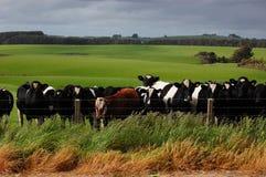 牛在大农场 库存照片