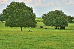 牛在庇荫树下 免版税库存图片