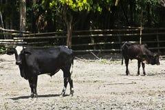 黄牛在棚子 免版税库存照片