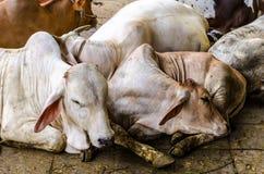 牛在槽枥 免版税库存照片