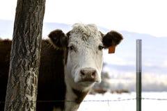 牛在蒙大拿 库存图片