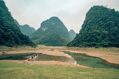 牛在越南横渡水之间的一条小道路在一个领域 免版税库存图片