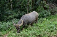 水牛在越南 库存照片