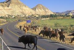 牛在路线12,埃斯卡兰蒂, UT驾驶 免版税库存照片