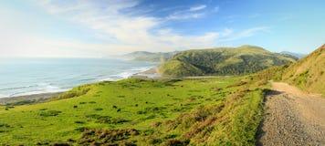 牛在Lost海岸加利福尼亚的豪华的绿色领域吃草 免版税图库摄影