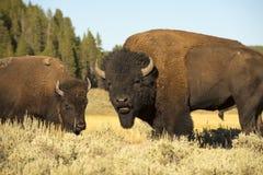 水牛城北美野牛在黄石 免版税图库摄影
