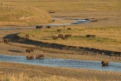 水牛城北美野牛在黄石 库存图片