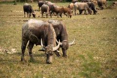 水牛城和牧群在室外农厂公园吃着草 免版税库存照片