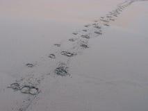 水牛城在沙子的脚印刷品 库存图片