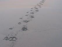 水牛城在海滩的脚印刷品 库存照片