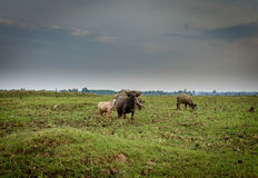 水牛城在Khao亚伊国家公园热带雨林里 库存图片