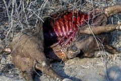 水牛城尸体在更加伟大的克留格尔国家公园,南非 库存照片