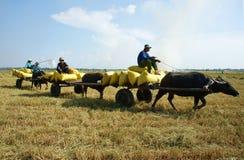 水牛城推车在米大袋的运输稻 免版税库存图片
