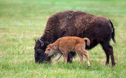 水牛城母牛和小牛 库存照片