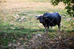 水牛城泰国,亚洲吃着草 图库摄影