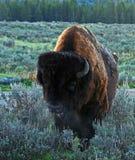 水牛城走在黄石国家公园(怀俄明美国)的公牛有他的呼吸的'出来的雾' 库存图片