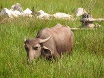水牛城顶头射击 看见在印度,卡纳塔克邦 库存照片
