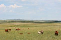 牛域 免版税图库摄影