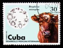 牛壁虱Boophilus microplus,公牛,兽医serie,古巴人大约1975年 免版税图库摄影