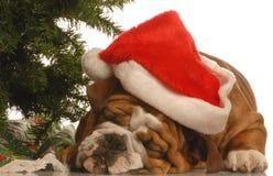 牛头犬下圣诞树 库存图片