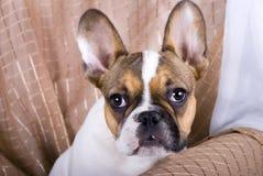 牛头犬五法语月大小狗 免版税库存照片