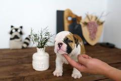 牛头犬品种狗的小狗在一张棕色桌上说谎 所有者轻轻地接触一个手指小狗 图库摄影