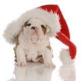 牛头犬圣诞节 库存照片