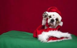 牛头犬放弃纵向的小狗节假日 免版税库存照片