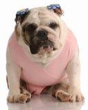 牛头犬桃红色芭蕾舞短裙佩带 图库摄影