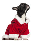 牛头犬法国成套装备小狗圣诞老人 免版税库存图片