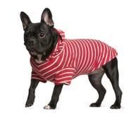 牛头犬法国红色衬衣镶边白色 库存图片