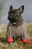 牛头犬法语夹克 库存照片