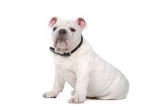 牛头犬法语小狗 免版税图库摄影