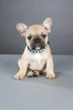 牛头犬法语小狗 免版税库存图片