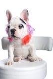 牛头犬法语小狗 库存图片