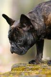 牛头犬法语查阅 免版税库存照片