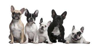 牛头犬法语组 免版税库存照片
