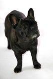 牛头犬法语 库存照片