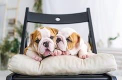 牛头犬的两只俏丽的小狗 库存图片