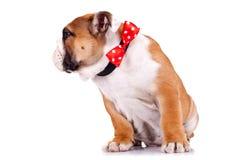 牛头犬英国小狗红色丝带佩带 库存照片