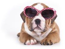 牛头犬英语小狗 免版税库存照片