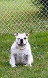 牛头犬英语 库存图片