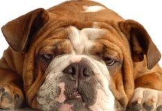 牛头犬英语 免版税库存照片