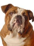 牛头犬英语 库存照片