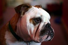 牛头犬 免版税库存图片