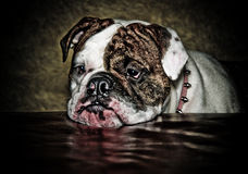 牛头犬lillith 免版税库存照片