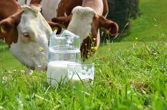 牛奶和母牛 免版税库存照片