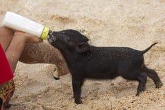 牛奶哺养的小猪 免版税库存图片