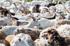 牛奶山羊牧群  库存图片